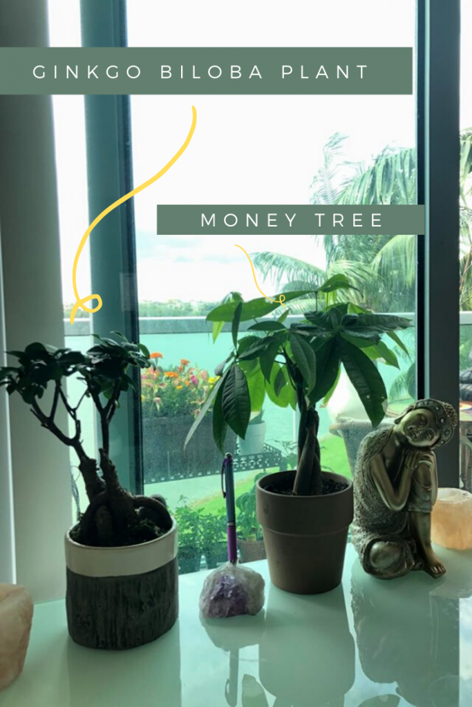 money tree plants for desk