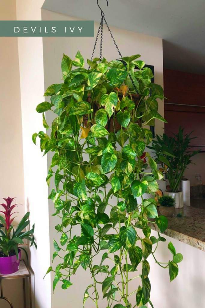 large hanging devil ivy plant