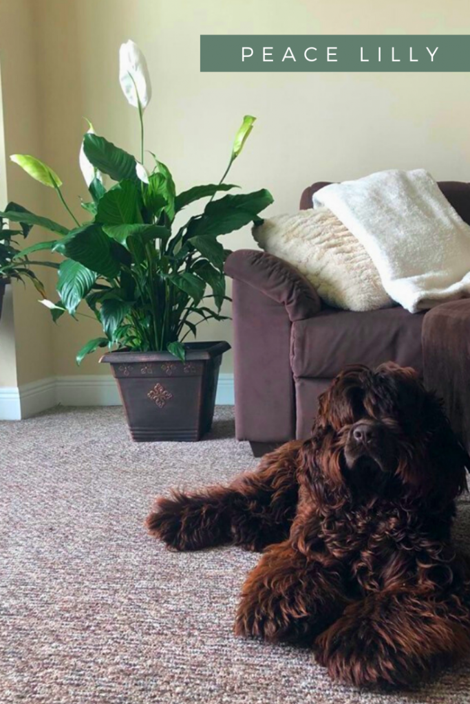 chic large peace lily plant with dog